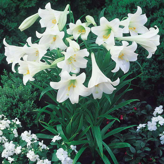 Лилия садовая Lilium White Heaven фото