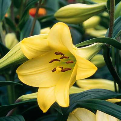 Лилия садовая делиана Deliana фото