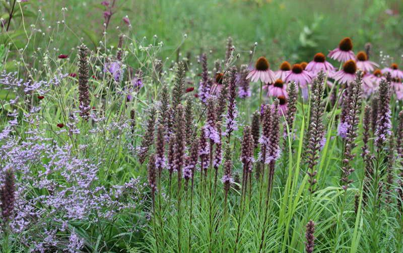 Лимониум, лиатрис и эхинацея фото цветов