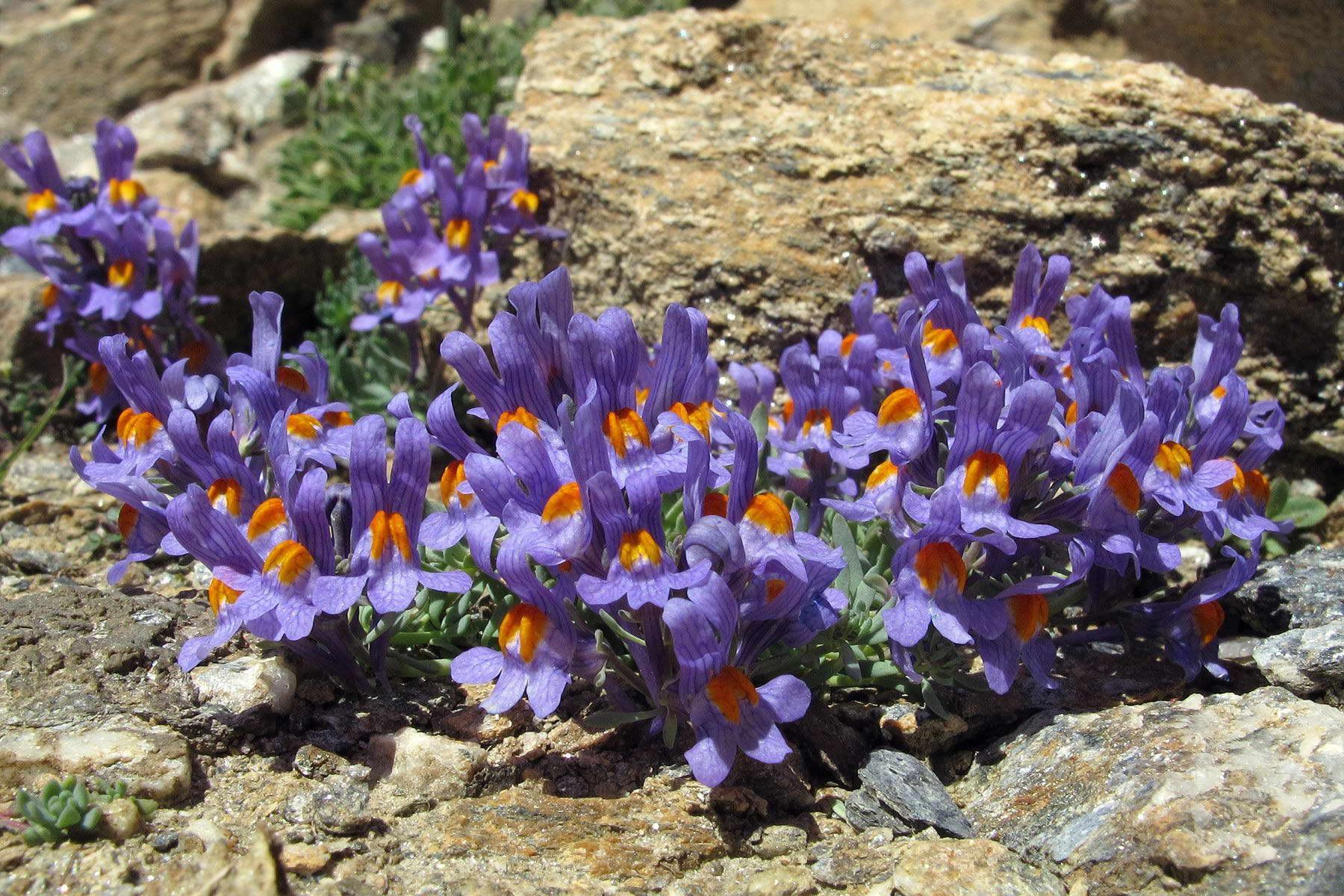 Линария альпийская Linaria alpina фото