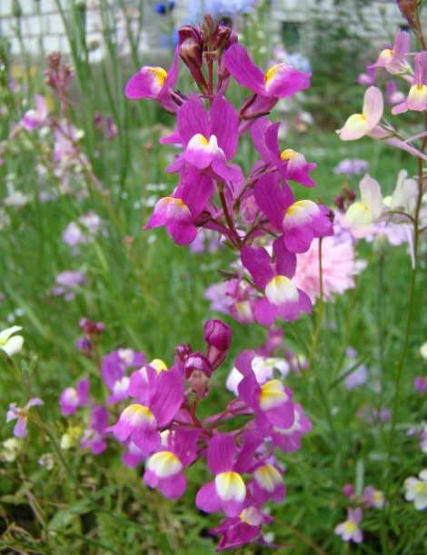 Линария двураздельная Linaria bipartita фото