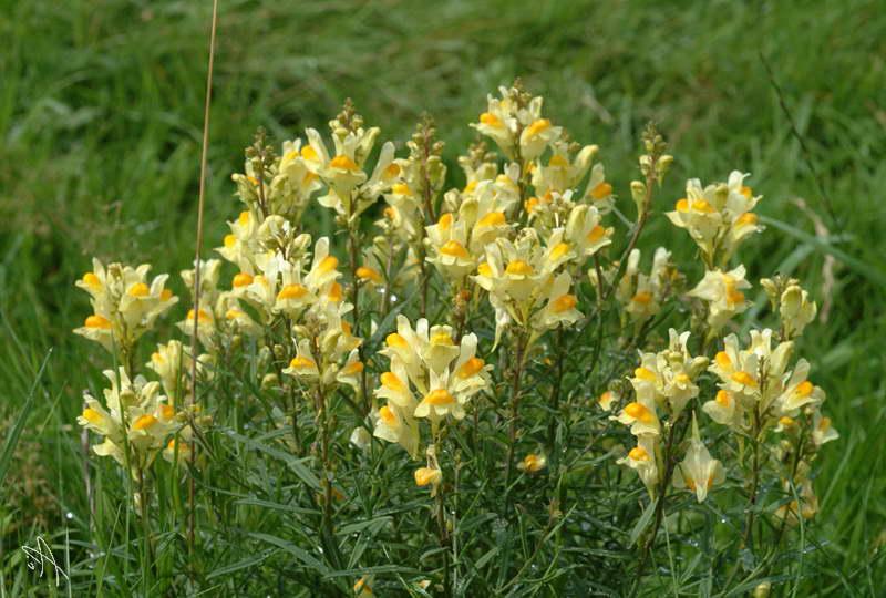 Линария обыкновенная Linaria vulgaris фото