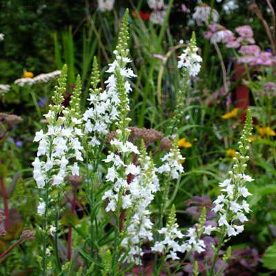 Линария пурпурная Linaria purpurea 'Springside White' фото