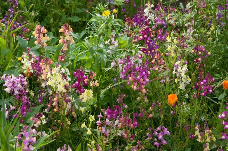 Линария с другими цветами фото