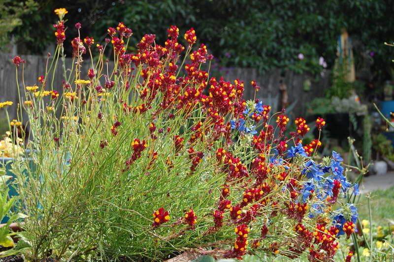 Линария сетчатая Linaria reticulata 'Flamenco' фото