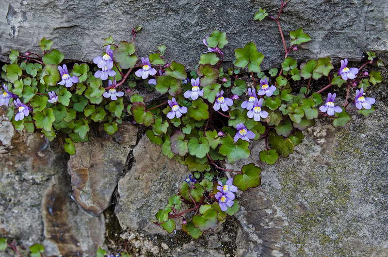 Линария цимбалярия Linaria cymbalaria фото
