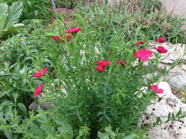 Linum grandiflorum rubrum Scarlet flax