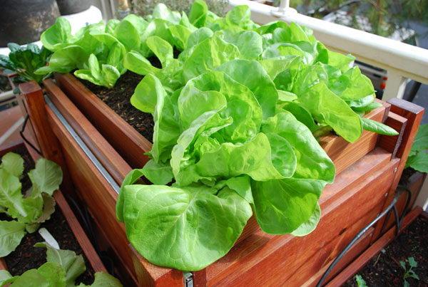 Листовой салат на подоконнике и балконе фото