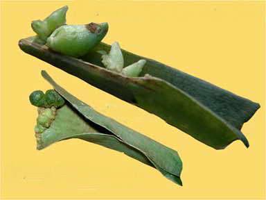 Листовые черенки дримиопсиса формируют мини луковицы фото