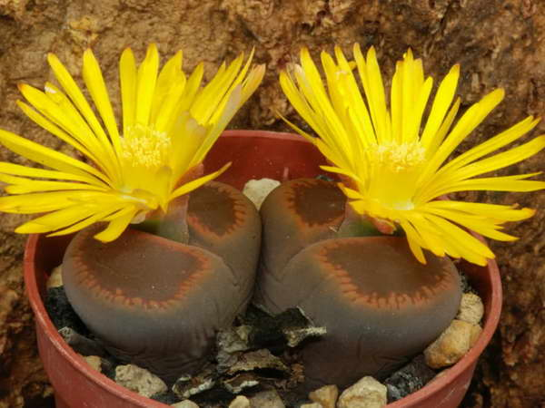 Литопс Аукамп Lithops Aucampiae выращивание и уход в домашних условиях фото