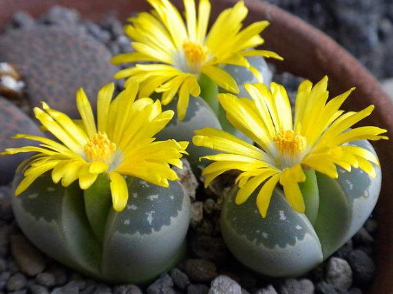 Литопс Оливково-зеленый Lithops Olivaceae как ухаживать фото