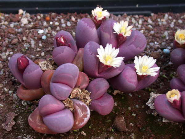 Литопс Оптика Lithops Optica фото Как выращивать и ухаживать за кактусом литопс фото