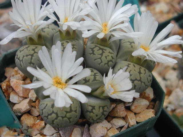 Литопс красивый Lithops bella фото Выращивание и уход в домашних условиях
