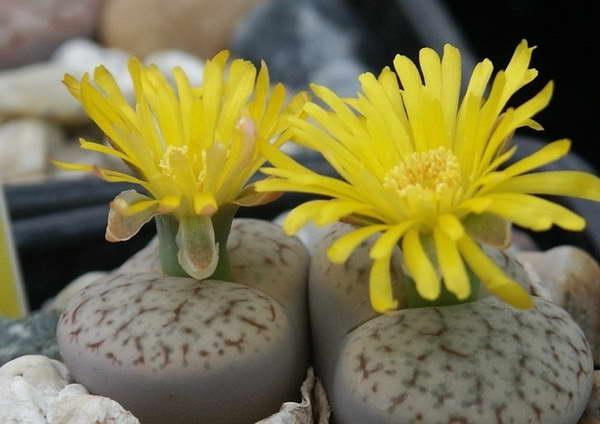 Литопс ложнообрубленный Lithops pseudotruncatella фото цветов