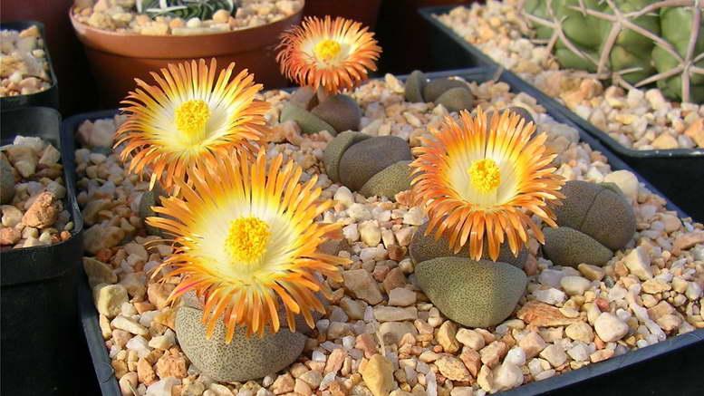 Литопсы уход и содержание в домашних условиях Размножение фото цветения