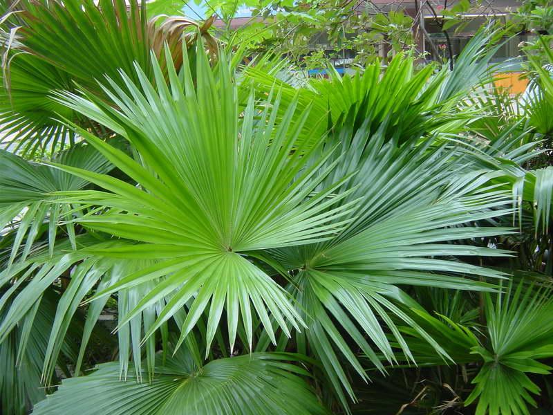 Ливистона Круглолистая Livistona rotundifolia фото