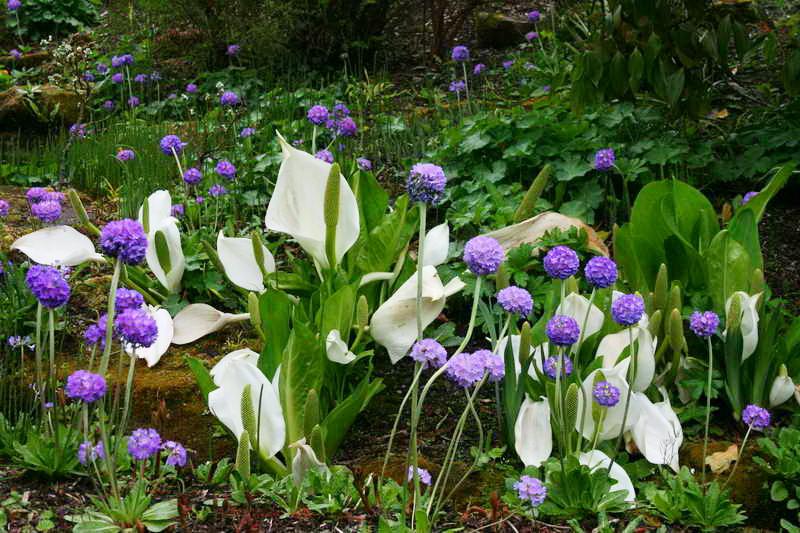 Лизихитон камчатский в дизайне сада