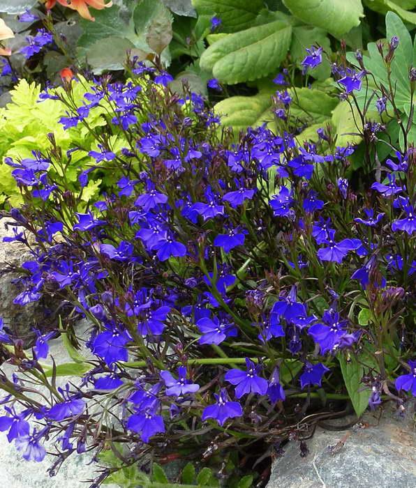 Лобелия Эринус или синяя, бордюрная, ежевидная Lobelia erinus сорт 'Monsoon' фото
