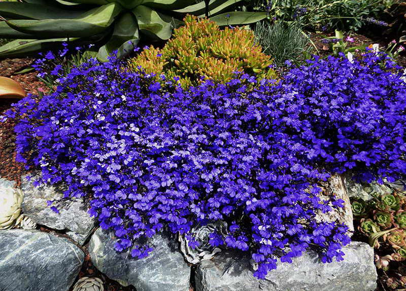 Лобелия Lobelia erinus 'Monsoon' фото в саду