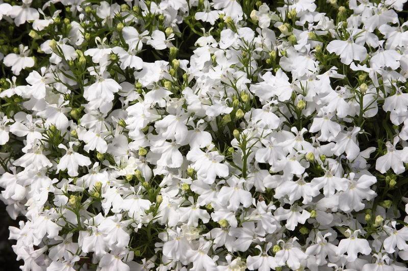 Лобелия эринус сорт Белый Дворец Lobelia erinus White Palace фото