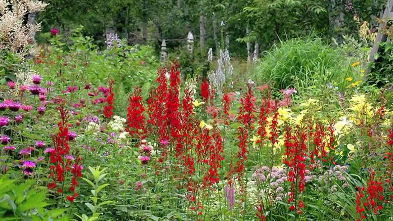 Лобелия многолетняя красная Посадка и уход фото цветов