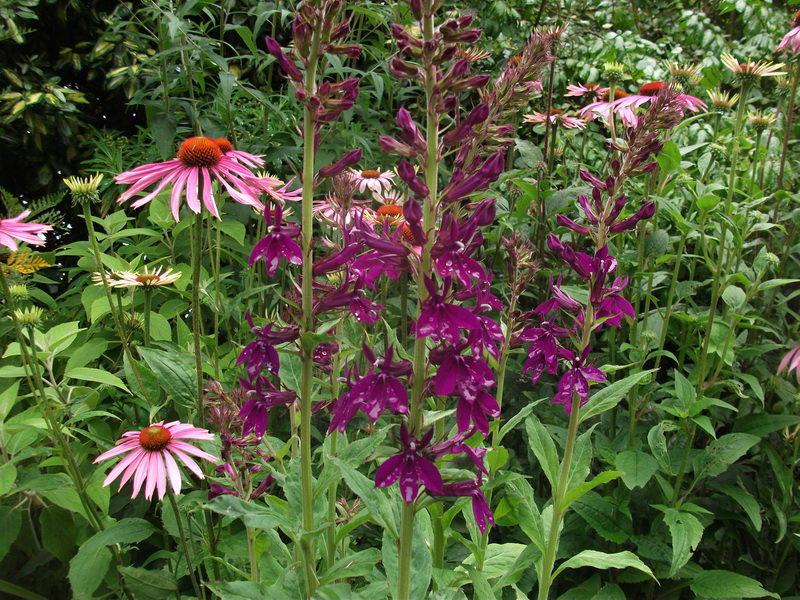 Лобелия прекрасная Lobelia x speciosa сорт Hadspen Purple фото