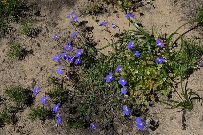 Лобелия тончайшая или нежная Lobelia tenuior фото
