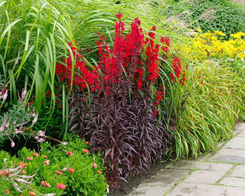 Лобелия в ландшафтном дизайне на фото сорт Lobelia cardinalis Queen Victoria