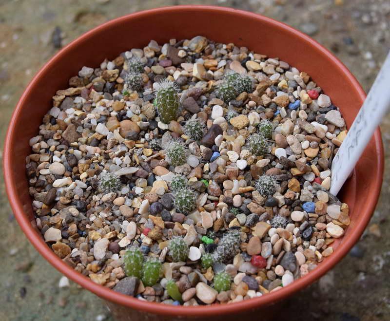 Лобивия из семян фото сеянцев