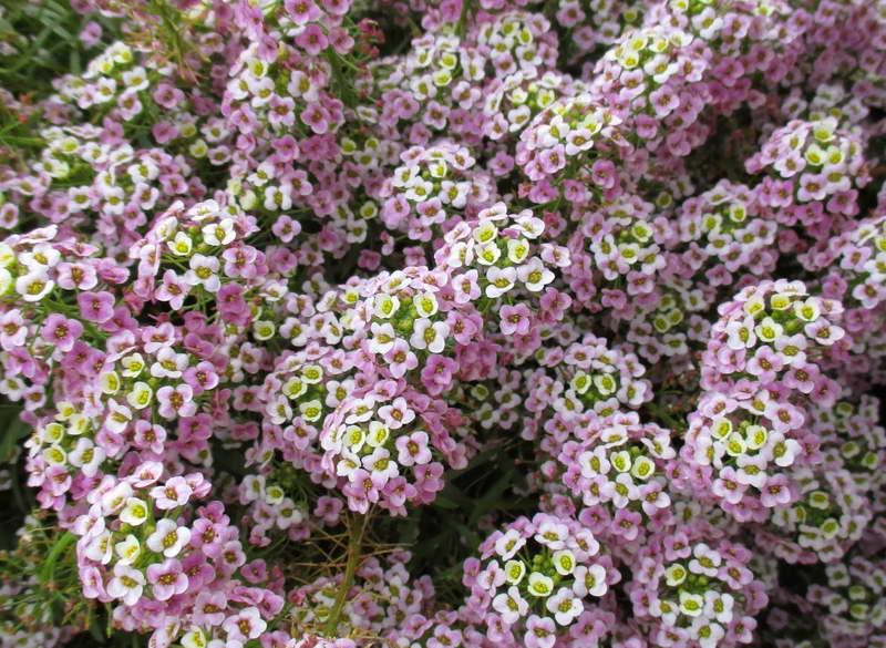 Лобулярия bicolor pink stream фото выращивание и уход