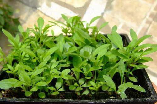 Лобулярия королевский ковер выращивание из семян фото