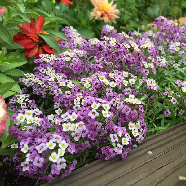 Лобулярия lucia lavender фото цветов Выращивание и уход