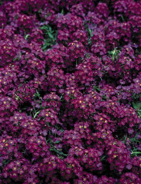 Лобулярия lucia purple фото