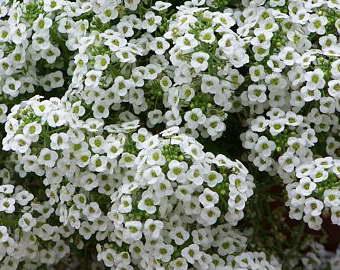 Лобулярия lucia white выращивание и уход фото