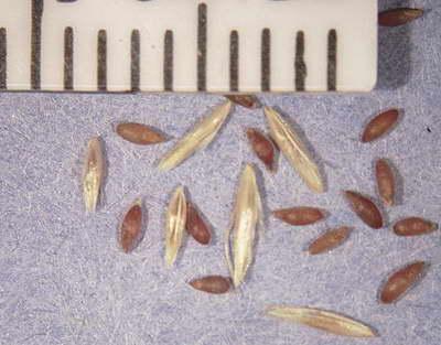 Луговик дернистый дешампсия щучка дернистая семена фото