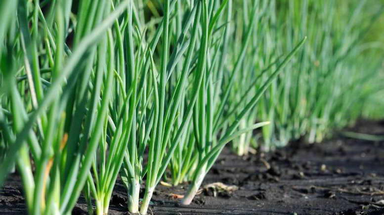 Лук батун посадка и уход в открытом грунте Выращивание из семян