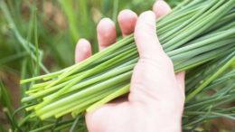 Лук шнитт выращивание и уход фото Как посеять шнитт лук