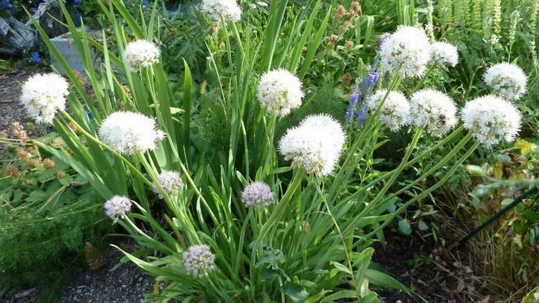 Лук слизун выращивание и уход Посадка семенами на рассаду и в открытый грунт