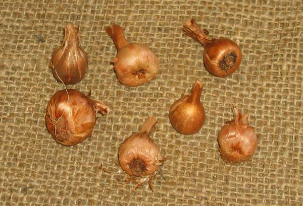 Луковицы бабианы в конце сезона выкапывают на хранение