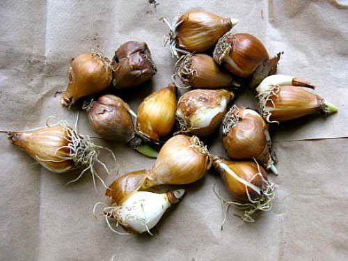 Луковицы галантуса фото Как размножается подснежник