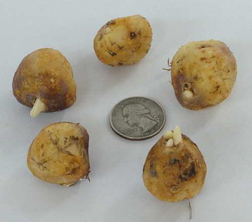 Луковицы гиацинтоидеса испанского фото