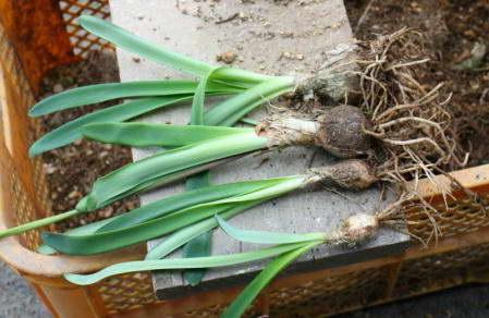 Луковицы нерине фото