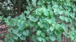 Луносемянник Даурский Menispermum dahuricum фото