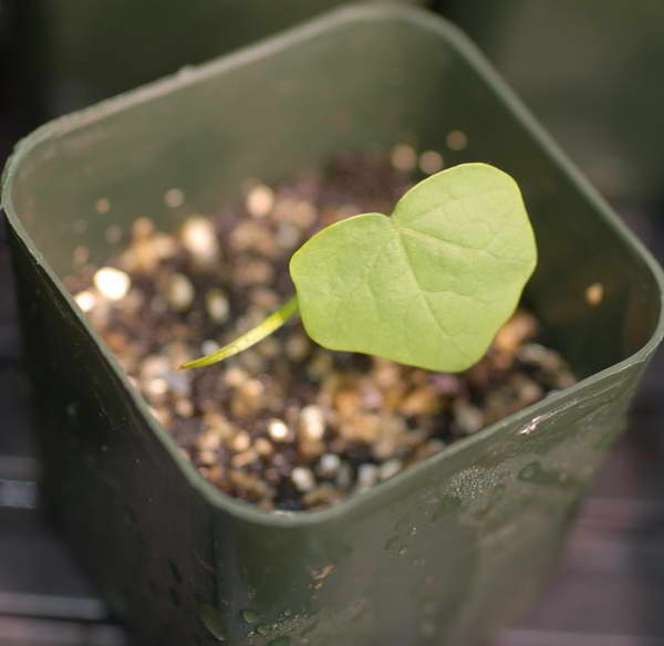 Луносемянник из семян фото сеянца