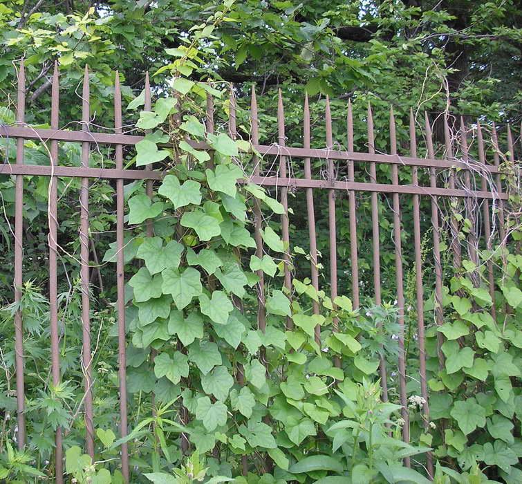 Луносемянник на заборе фото