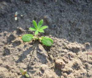 Люпины выращивание из семян когда сажать Как выглядят всходы люпина