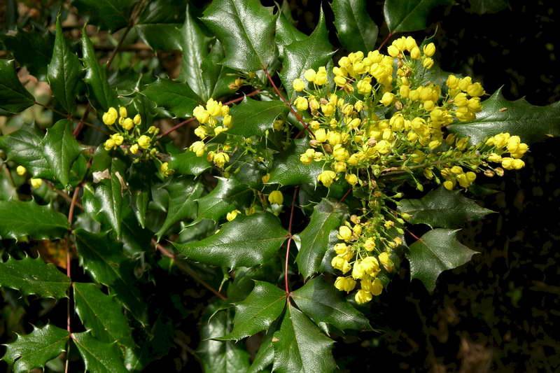 Магония падуболистная в ландшафтном дизайне Mahonia aquifolium фото цветения