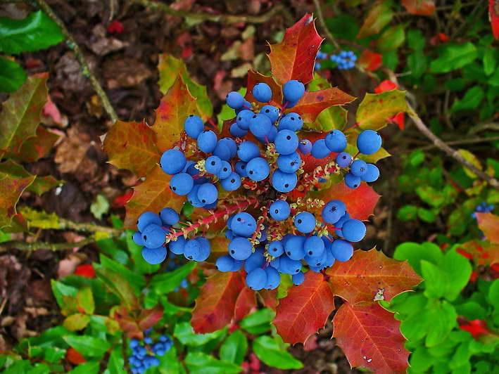 Магония посадка и уход в открытом грунте Магония осенью фото