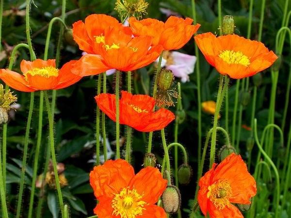 Мак голостебельный оранжевый