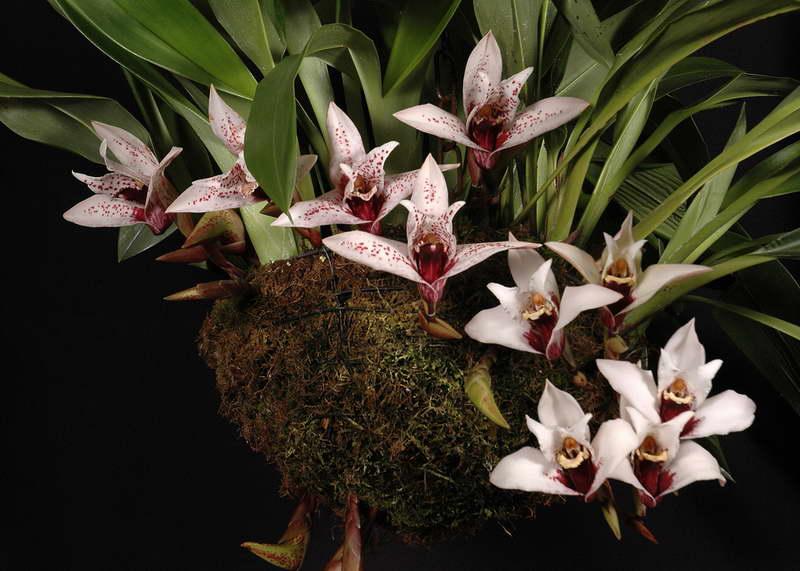 Максиллярия крупноцветковая или Максиллярия грандифлора Maxillaria Grandiflora фото